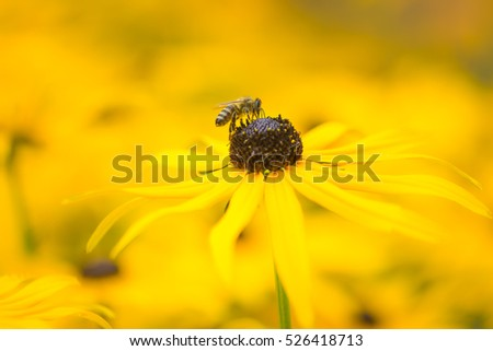 Bee in a flowerbed with yellow echinacea flowers - selective focus