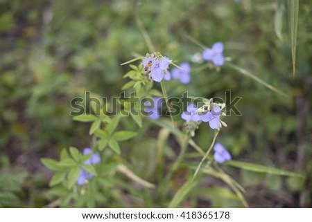 Bee in flower bee amazing,honeybee pollinated of Blue commelina cyanea edible flower - stock photo