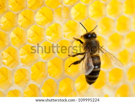 bee in honeycomb close-up shot - stock photo