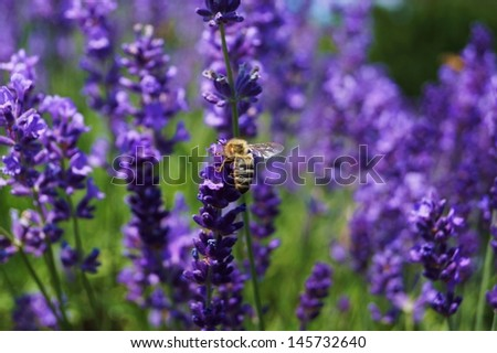 Bee in lavender field - stock photo