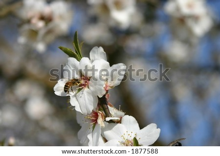 Bee in the Almond Blossom - stock photo