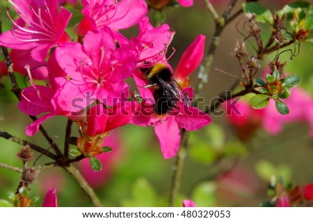 Bee in the surroundings of pink rhododendron.