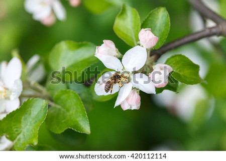Bee insect pollinating apple tree flowers and collecting pollen - stock photo