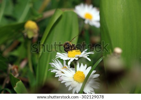 Bee is collecting pollen from daisy flower, botanical name Bellis perennis - stock photo