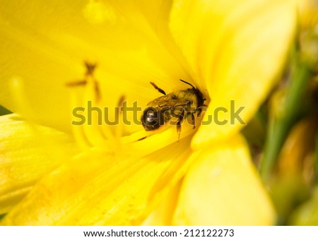 bee is drinking nectar on the yellow flower
