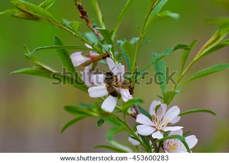 Bee is pollination apple-tree
