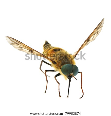 Bee isolated on white background. - stock photo