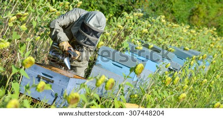 Bee Keeper Working with Bee Hives in a sunflower field