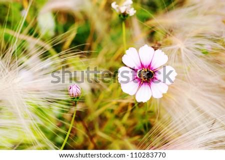 Bee looking for honey in a Cosmos flower (Cosmos bipinnatu) - stock photo