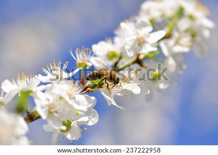Bee on a blossoming cherry branch during springtime - stock photo