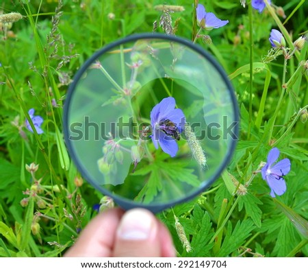 Bee on a blue flower visible through a magnifying glass  - stock photo