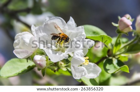 Bee on a flower apple tree on blurred background - stock photo