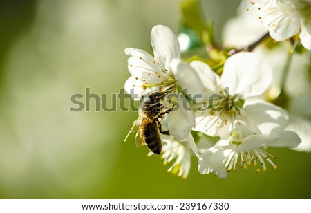 Bee on a flower of the white cherry blossoms. - stock photo