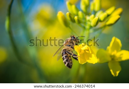 Bee on a flower oilseed rape - stock photo