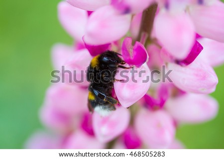 Bee on a lupine flower