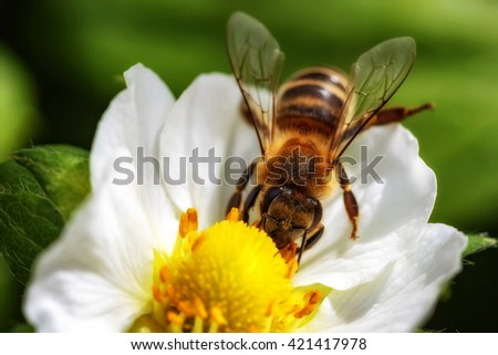 Bee on a strawberry flower collecting pollen and nectar