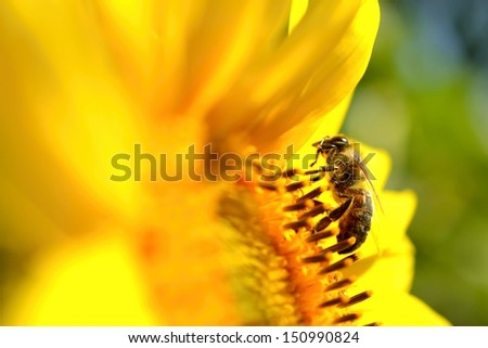 bee on a sunflower - stock photo