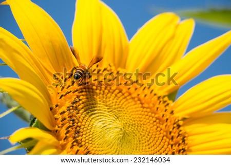 Bee on a sunflower - stock photo
