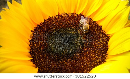 Bee on a sunflower, collecting pollen, horizontal - stock photo