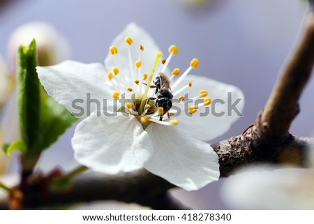 Bee on a white flower of a blooming tree - stock photo
