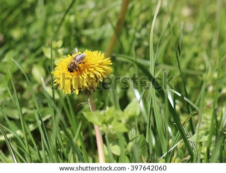 Bee on a yellow dandelion