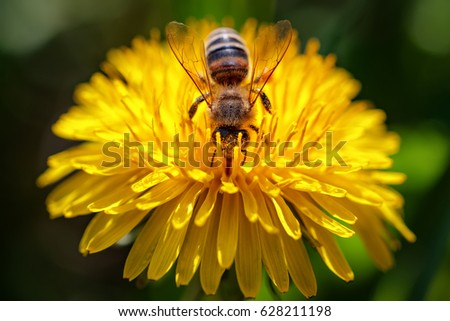 Bee on a yellow dandelion  flower collecting pollen and gathering nectar to produce honey in the hive - Macro