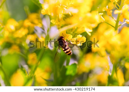 Bee on a yellow flower, a close up. Small depth of sharpness - stock photo