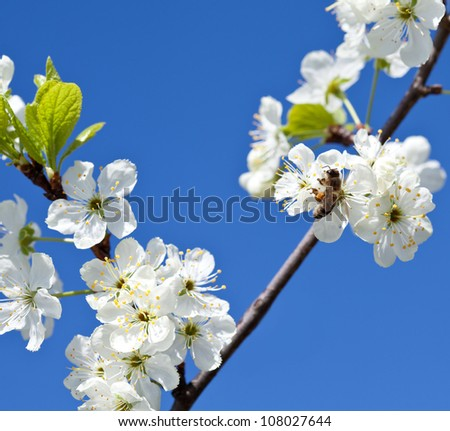 Bee on apple blossom; closeup of a beautiful spring apple tree against blue sky and bee pollinating apple bloom - stock photo