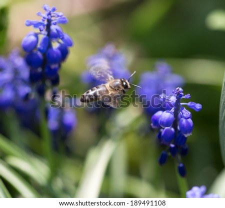 bee on blue colors in nature. macro