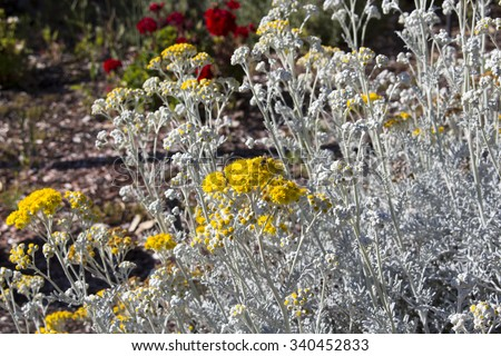 Stock images royalty free images vectors shutterstock for Senecio cineraria