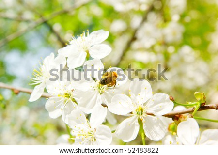 Bee on cherry white blossoms
