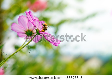 Bee on Cosmea flowers.