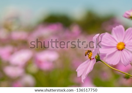 Bee on Cosmos, Mexican aster flowers against blue sky
