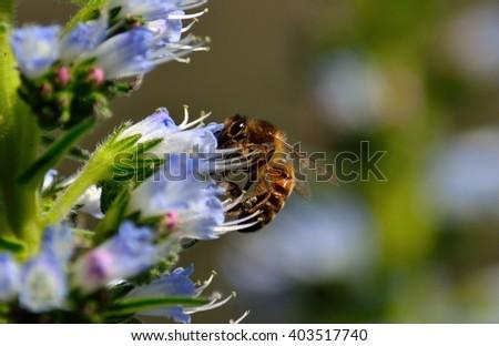 Bee on echium wildflowers  - stock photo