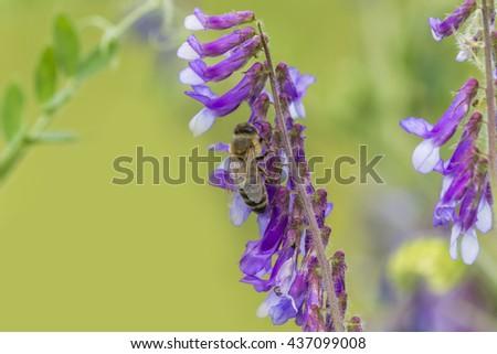 Bee on flower. Bee pollinating spring flowers.  Summer bee. Honey bee on flower. Closeup of a bee.  Honeybee produce nectar. Wild bee on nature - stock photo