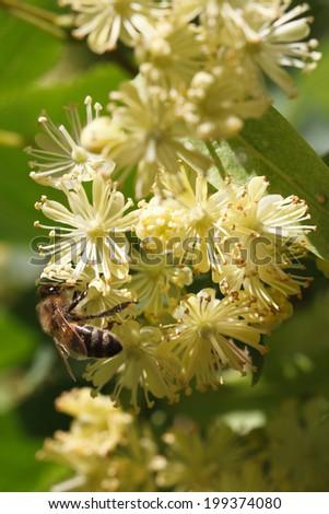 bee on flowers linden closeup vertical outdoor  - stock photo