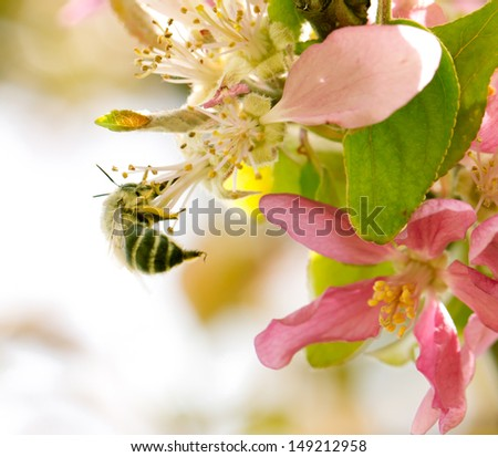 bee on flowers of apple in nature - stock photo