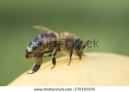 Bee on green background - stock photo