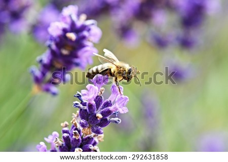 Bee on lavender  - stock photo