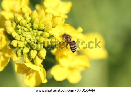 Bee on rape flower - stock photo