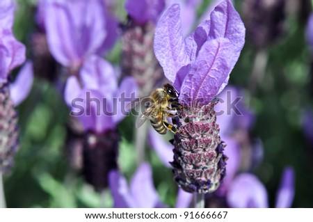 Bee on Spanish Lavender - stock photo