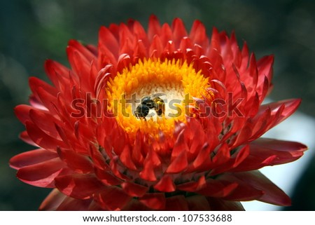 bee on strawflower - stock photo