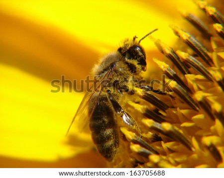 Bee on sun flower close up
