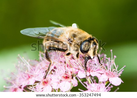Bee on the blossoms of spiraea japonica flower - stock photo
