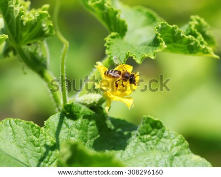 Bee on the cucumber flower - stock photo