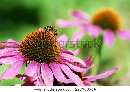 Bee on the echinacea flower. Summer in Europe. - stock photo