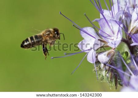 Bee on the phacelia flower - stock photo
