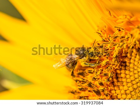 Bee on the yellow flower, collecting nectar