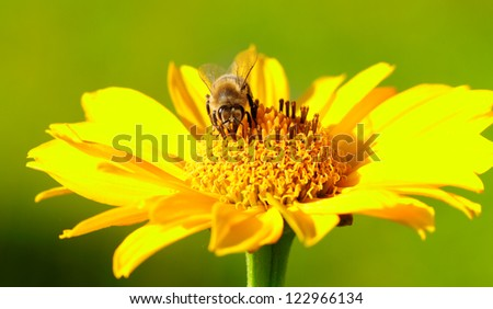 Bee on the yellow flower in a sunny day. - stock photo