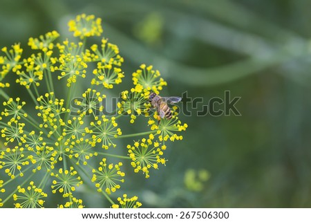 Bee on the Yellow Flower  with Blur Green background - stock photo